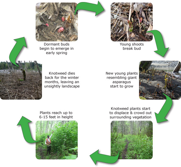 The lifecycle of knotweed