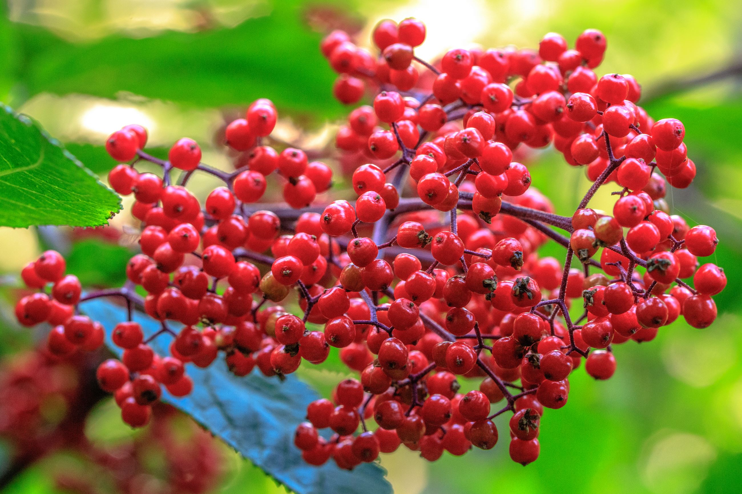 Red Elderberry - cr. Murray Foubister