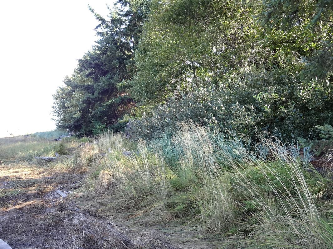 At higher tides, these grasses will serve as a nursery for small fish which help feed birds, orcas,