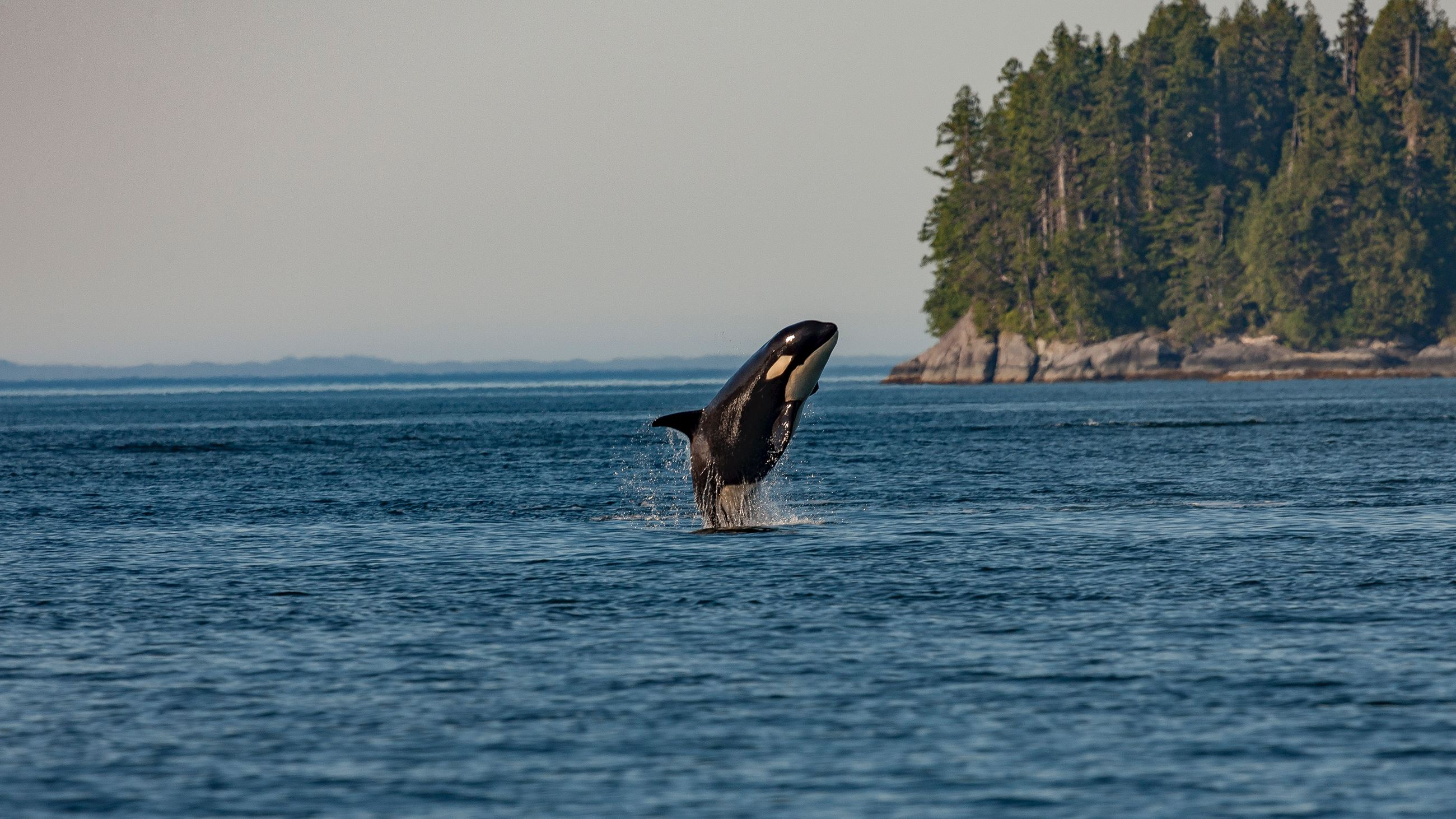 An orca whale jumps out of the water somewhere along the beautiful Washington Coast.